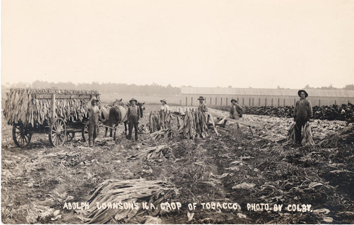 tobaccoharvest
